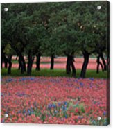 Texas Live Oaks Surrounded By A Field Of Indian Paintbrush And Bluebonnets Acrylic Print