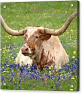 Texas Longhorn In Bluebonnets Acrylic Print by Jon Holiday