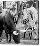 Texas Longhorn Steer In Black And White Acrylic Print
