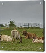 Texas Longhorns And Wildflowers Acrylic Print