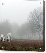 Texas Longhorns  Grazing On A Foggy Morning Acrylic Print
