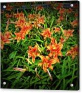 Texture Drama Field Of Tiger Lilies Acrylic Print