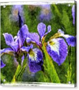 Textured Bearded Irises Acrylic Print