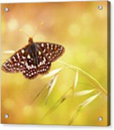 Textured Chalcedon Butterfly Acrylic Print