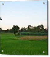 Thai Fields Acrylic Print