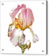 Thank You Greeting Items - Bearded Iris Acrylic Print