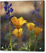 That Golden Poppy Glow  Acrylic Print