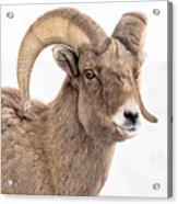 That Handsome Ram Acrylic Print