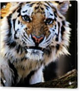 That Tiger Look Acrylic Print