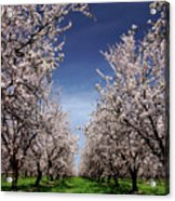 The Almond Bloom Acrylic Print