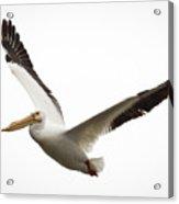 The Amazing American White Pelican Acrylic Print