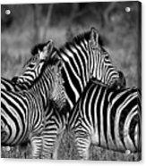 The Amazing Shot Of Zebra Acrylic Print