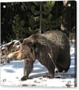 The American Grizzly Acrylic Print