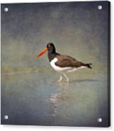 The American Pied Oystercatcher By Darrell Hutto Acrylic Print
