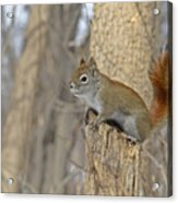 The American Red Squirrel Acrylic Print