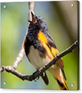 The American Redstart Acrylic Print