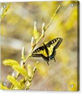 the Anise Swallowtail  feeding in the trees Acrylic Print