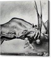The Arabian Oryx Acrylic Print