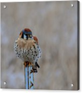 The Art And Image Of Kestrel Acrylic Print
