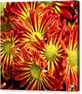 Chrysanthemum Bouquet Acrylic Print