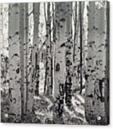 The Aspen Forest In Black And White  Acrylic Print