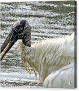 The Bathing Wood Stork 2 Acrylic Print