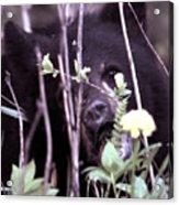 The Bearcub And The Dandelion Acrylic Print