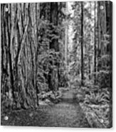 The Beautiful And Massive Giant Redwoods Acrylic Print