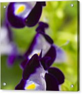What's Wrong With Being A Pansy? Acrylic Print