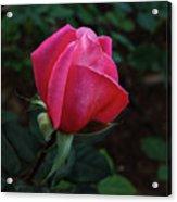 The Beautiful Rose Bud Acrylic Print