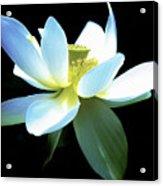 The Beauty Of A Lotus Acrylic Print