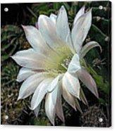 The Beauty Of Cactus Acrylic Print