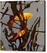 The Beauty Of Goldfish Acrylic Print
