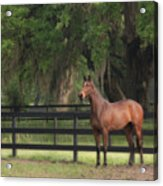 The Beauty Of The Thoroughbred Acrylic Print