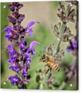 The Bee And The Laveder Acrylic Print