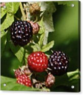 the Berries Acrylic Print