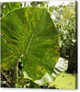 The Big Leaf Acrylic Print