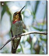 The Bird In The Foil Mask -- Anna's Hummingbird In Templeton, California Acrylic Print