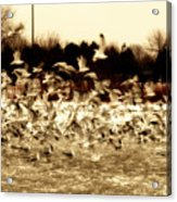 The Birds Acrylic Print