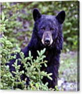 The Black Bear Stare Acrylic Print