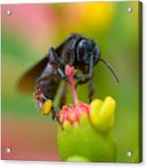 The Black Bee Acrylic Print by Cesar Marino