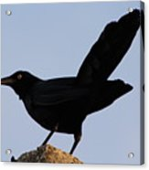 The Black Crow II Acrylic Print