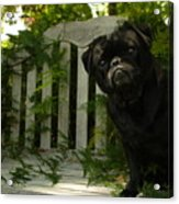The Black Pug Marley Acrylic Print