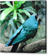 The Blue Bird Acrylic Print