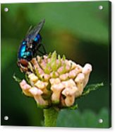 The Blue Bug Acrylic Print