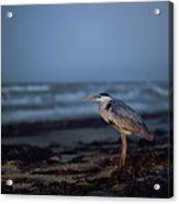 The Blue Heron Acrylic Print