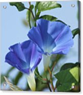 The Blue Morning Glory Acrylic Print