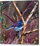 The Blue Of Winter In The Woods Acrylic Print