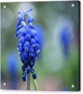 The Bluebells Of Destiny Acrylic Print