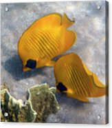 The Bluecheeked Butterflyfish Acrylic Print
